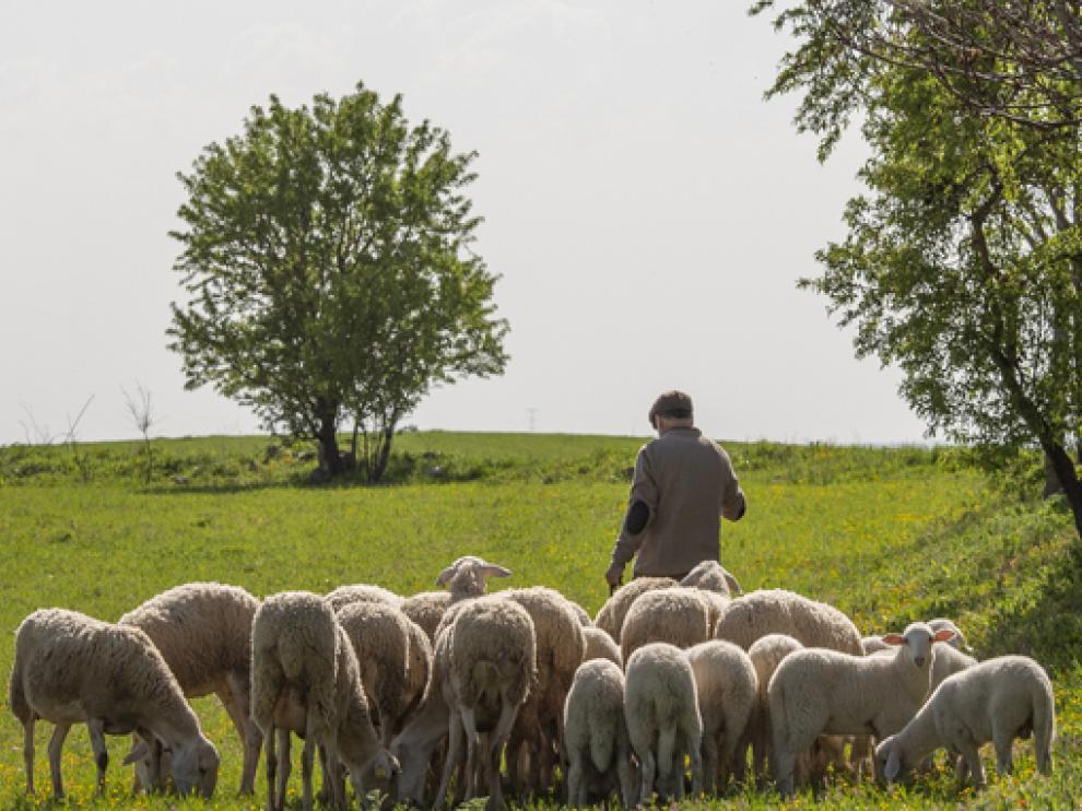 Un pastor junto a su rebaño de ovejas.