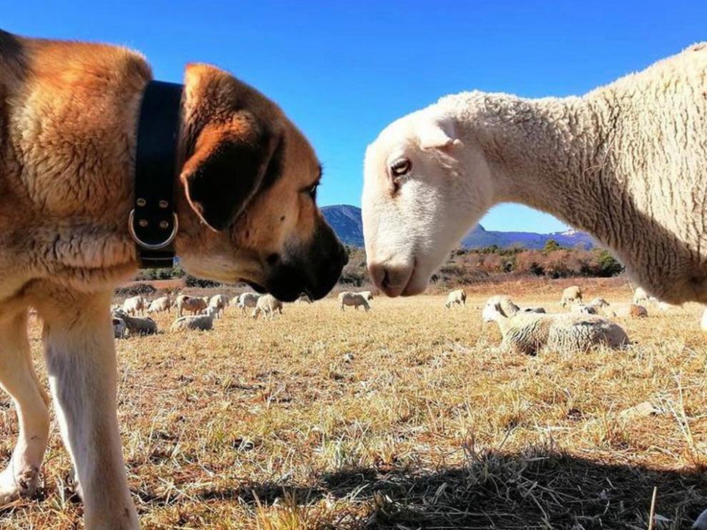 Los mastines guardan los rebaños de ovejas con los que se pueden topar ciclistas y paseantes
