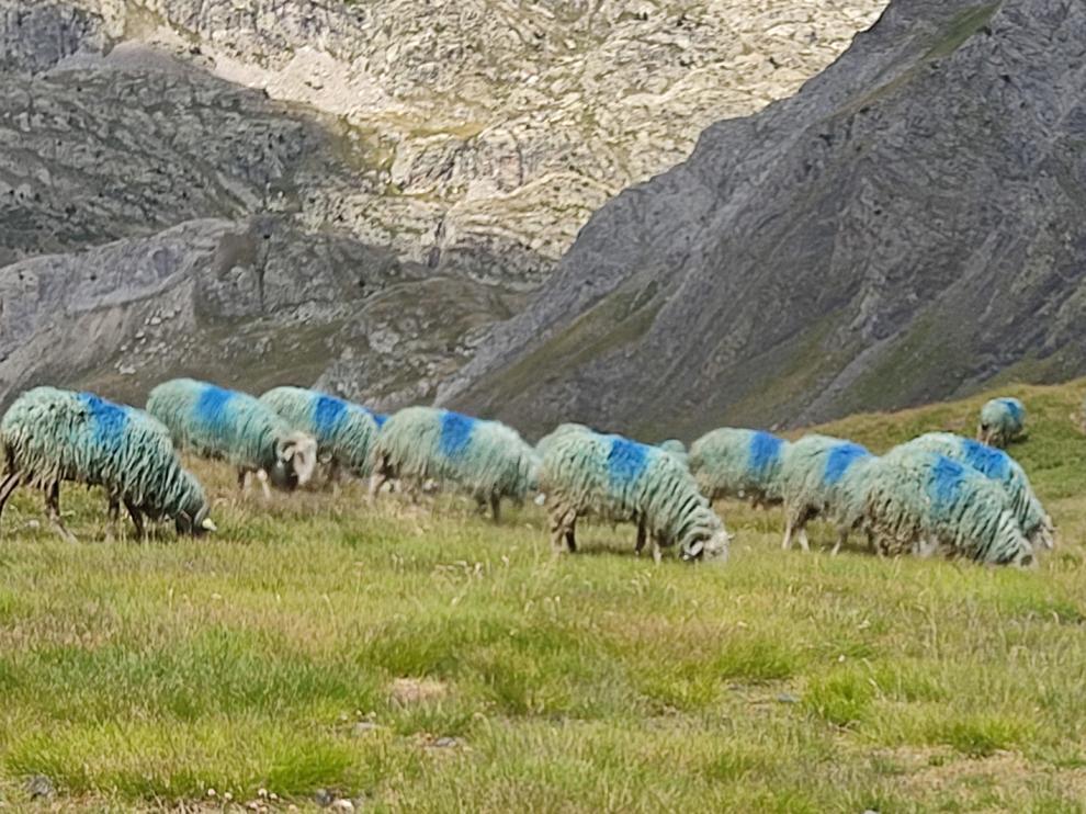Ovejas en las proximidades del Ibón Tebarray, a más de 2.800 metros de altitud
