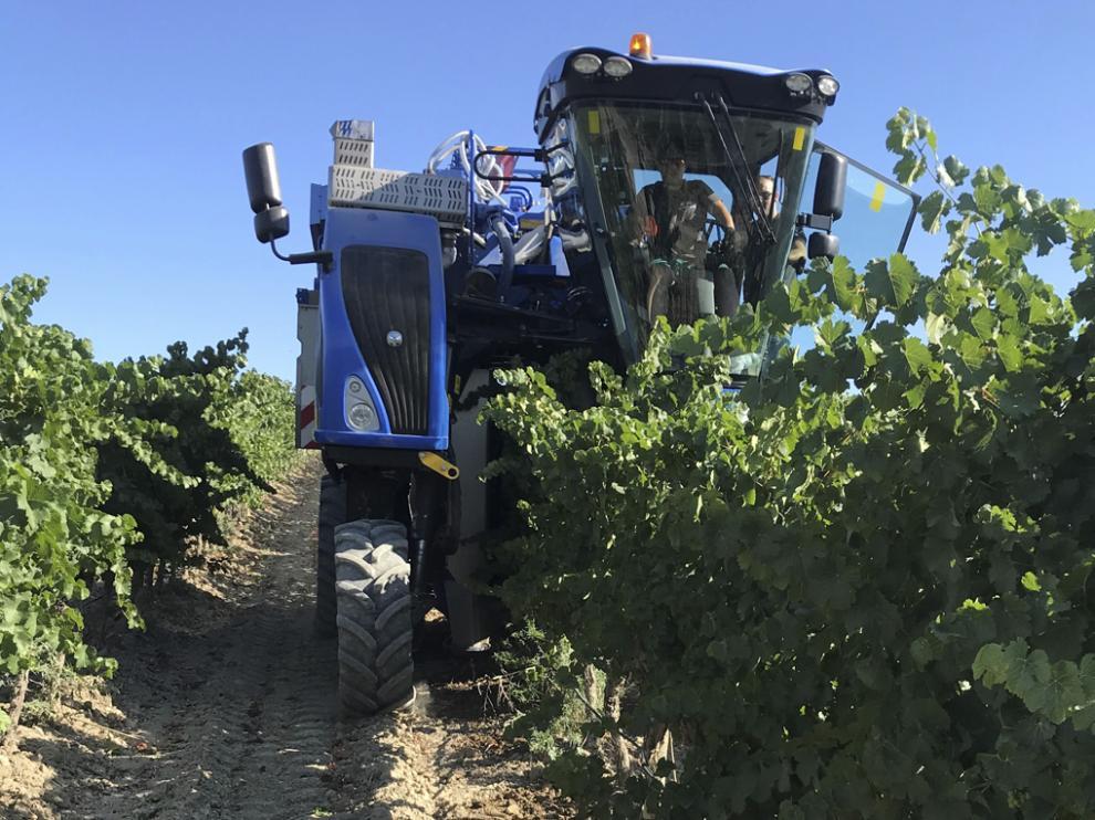 Labores de cosecha de la uva en esta temporada.