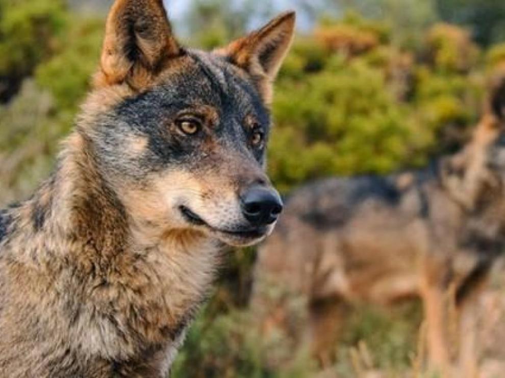 Dos ejemplares de lobo