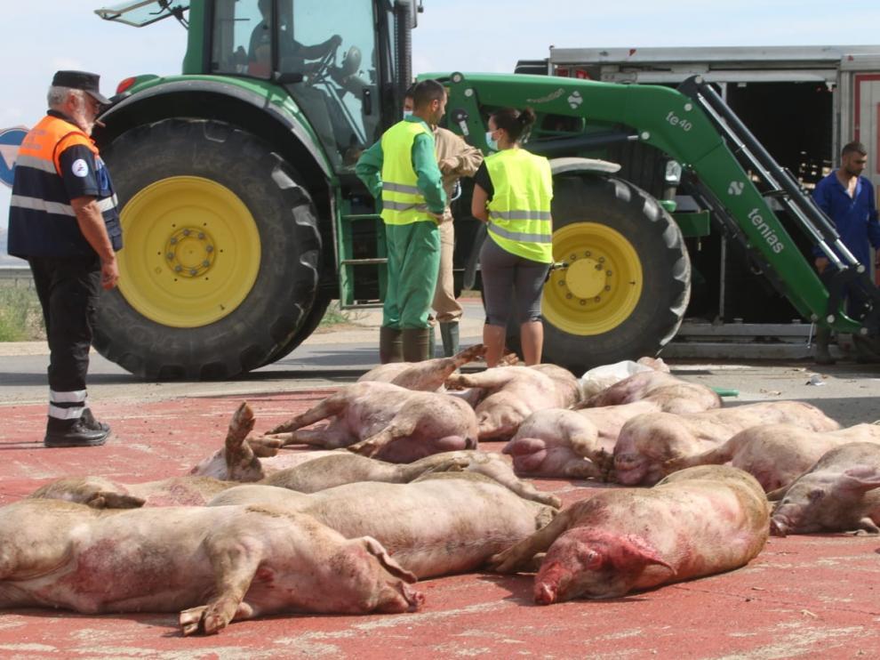 Imagen de algunos de los cerdos muertos como consecuencia del vuelco del camión.