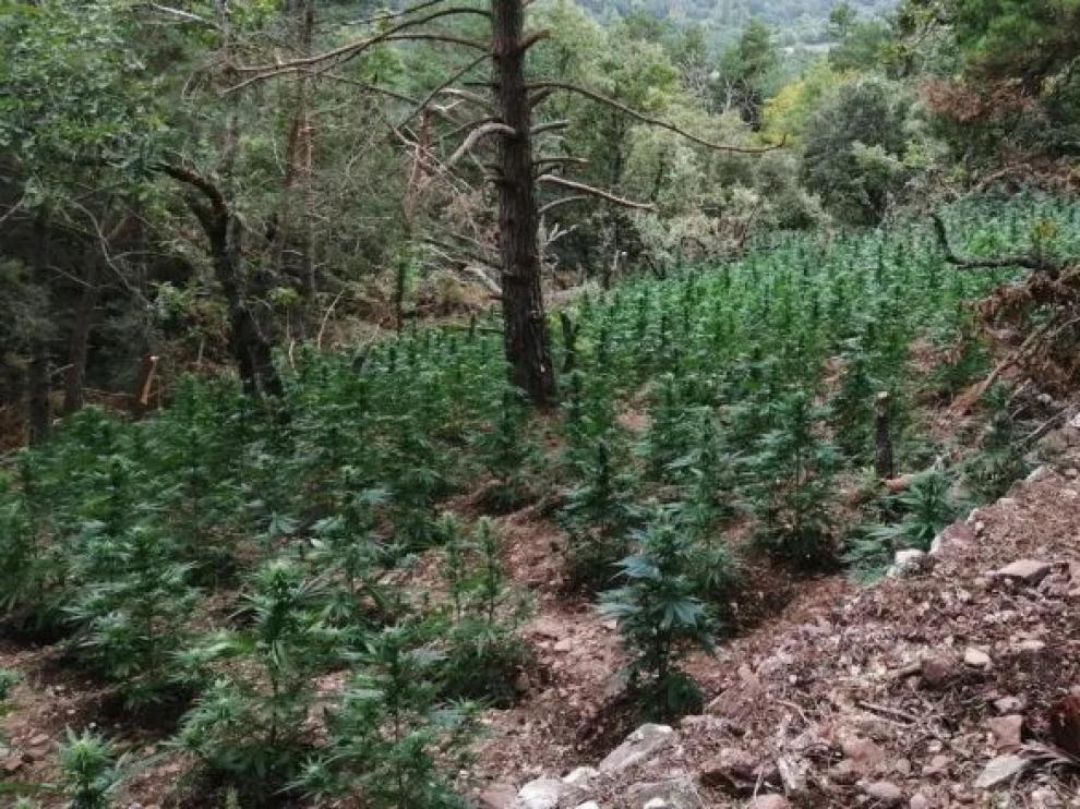 Plantación de marihuana hallada en Prades.